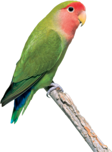 Peach-Faced-Lovebird